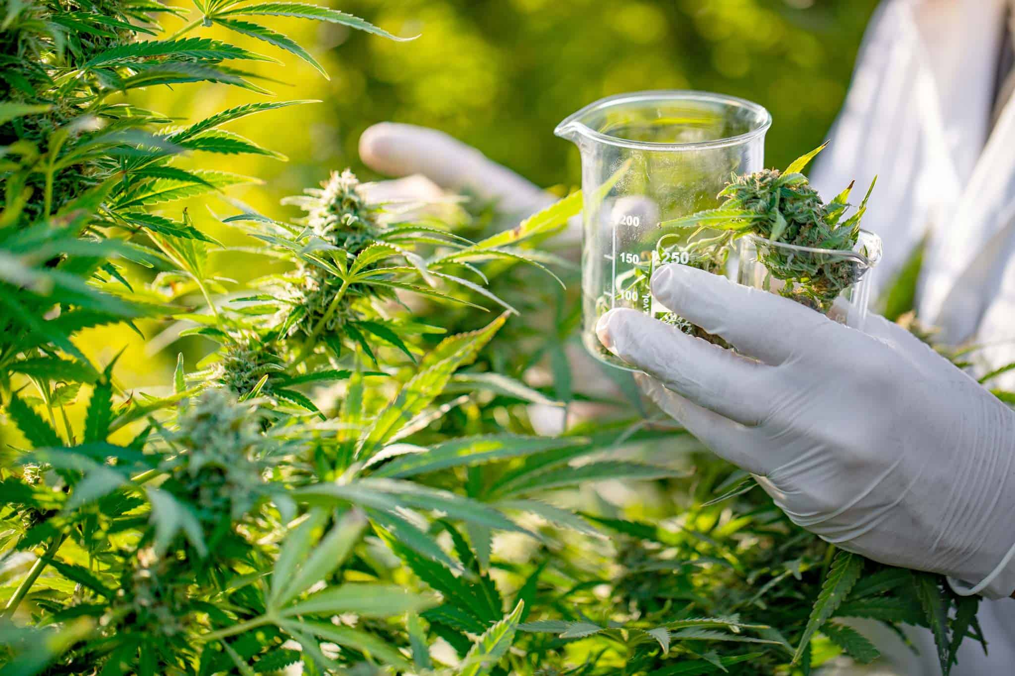 Image shows great care is taken to ensure quality of CBD products.